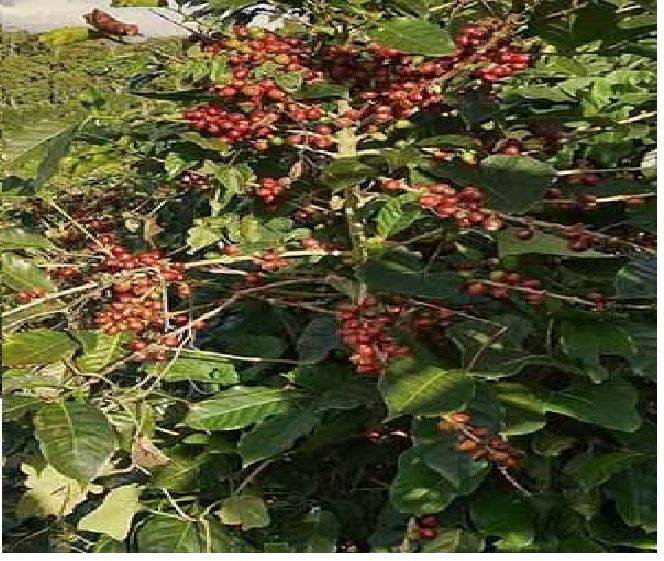 Aumenta Presupuesto Para Reactivar Cafeticultura