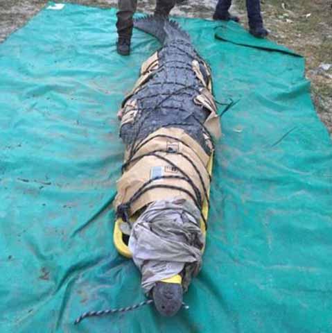 Capturan a Cocodrilo que Mató a un Pescador en Acapetahua
