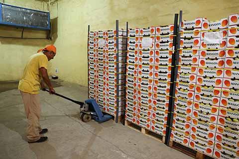 Mango Ataulfo del Soconusco Será Exportado a Canadá
