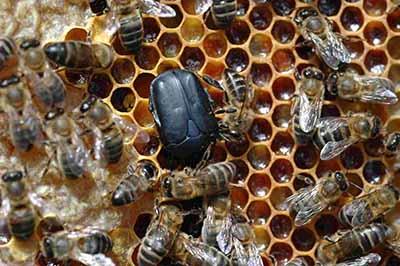 Crisis en la Producción de Miel de la Entidad