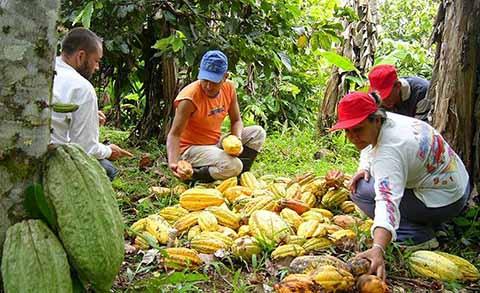 Persiste el Abandono en el Sector Cacaotero