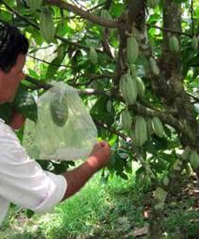 La Comisión de Cacao de la SAGARPA Autorizó 60 Mdp para Apoyar a Cacaoteros