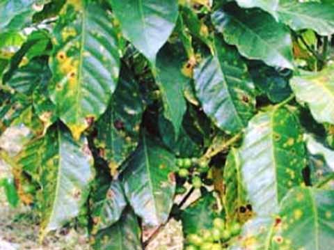 Preocupa a Productores de Café Avance de Nueva Plaga de la Roya
