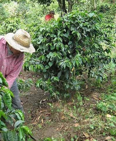 Cafeticultores Exigen Informes Sobre Nueva Roya que se Propaga en Honduras