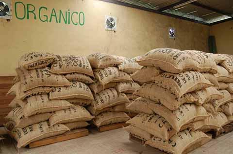 Sobreproducción de Café Chiapaneco Provoca Caída de Precios en el País