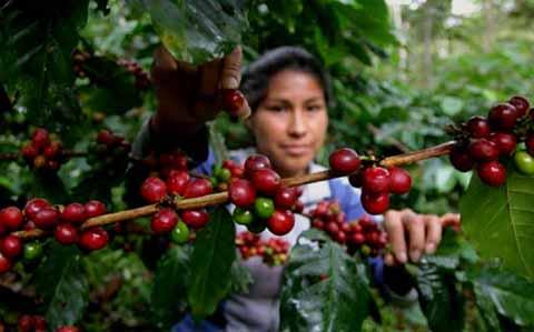 Recupera México el Primer Lugar Mundial en Producción de Café