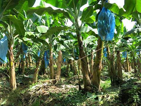 Baja Comercialización de Bananopor la Tragedia Nacional