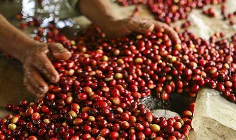 Se Recupera la Producción de Café Mexicano