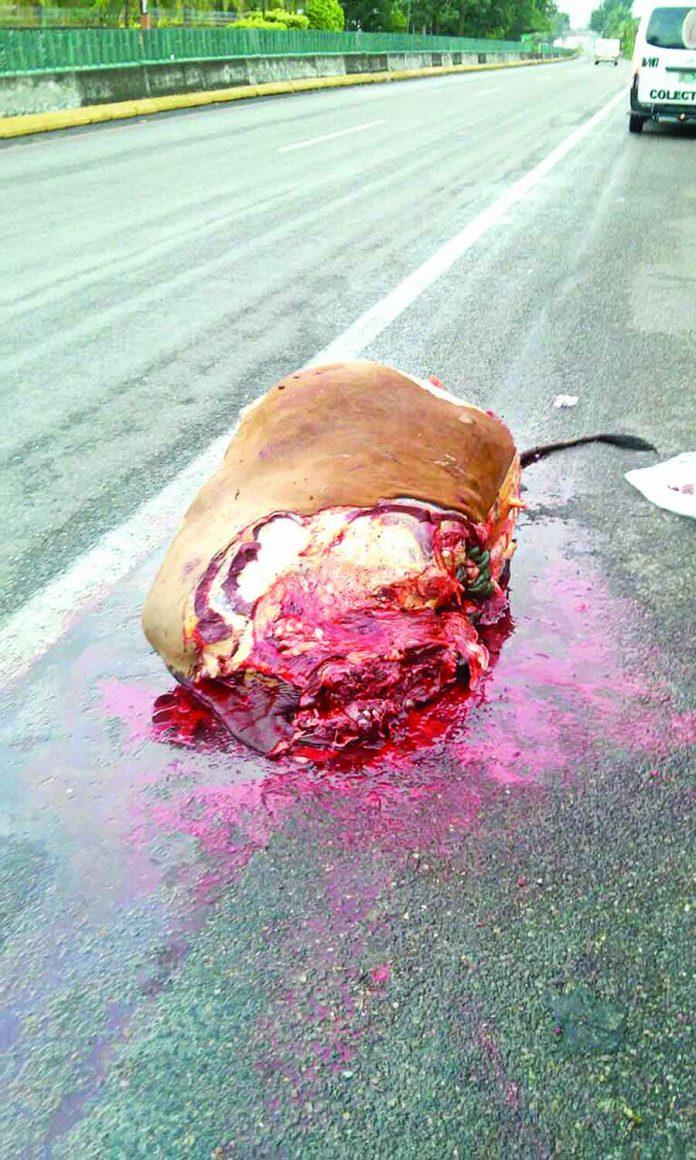 Vaca Murió Despedazada en la Carretera