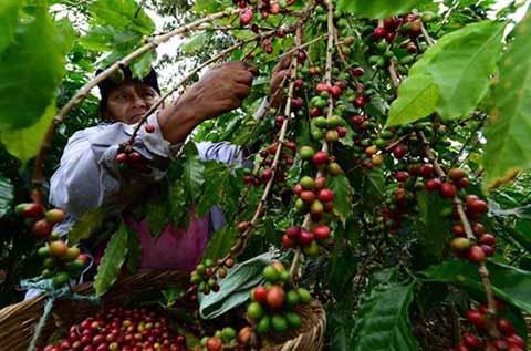 Productores de Café Abandonan Cultivos Ante Crisis en el Sector