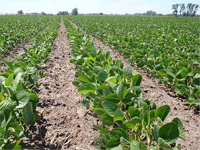 Solo el 2% de los Cultivos de Soya Están Tecnificadas en el Soconusco
