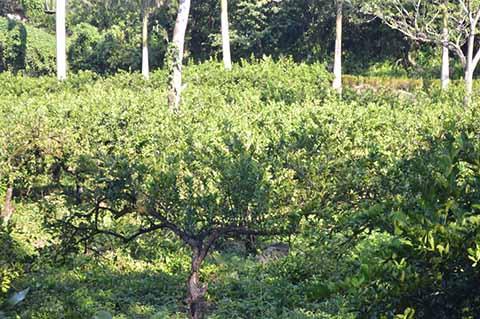 Campesinos Incursionan en el Cultivo del Limón Ante Demanda en el Mercado Nacional