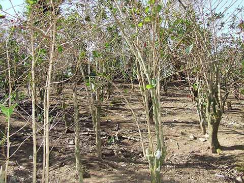 Afecta Sequía Temprana en Agricultura de Chiapas