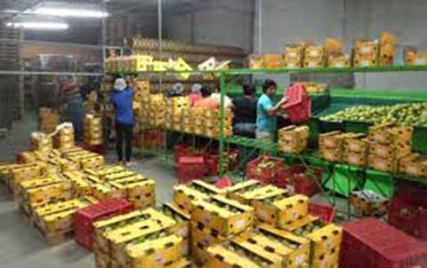Se Rompe Récord en Exportación de Mango