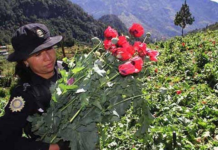 Temen que Amapola y Marihuana Cultivadas en Guatemala Entren a Chiapas por la Frontera
