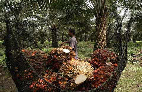 Chiapas, Principal Productor de Palma de Aceite en la Región Sur-Sureste