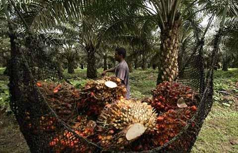 Falta de Industrialización Afecta a Productores de Palma Africana