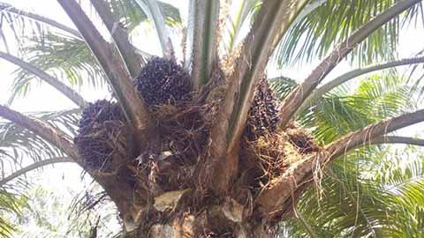 Palmicultores Instalarán Planta Extractora en Huehuetán