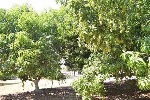 Amplían Exportación del Mango Ataulfo