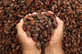 Lluvias Permiten Repunte en la Producción de Cacao