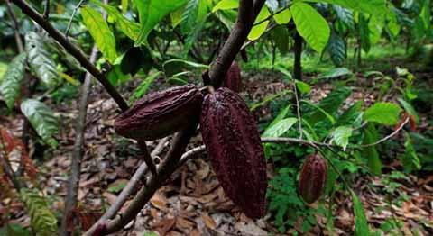Severa Crisis por Plagas Atraviesan Productores de Cacao de la Región