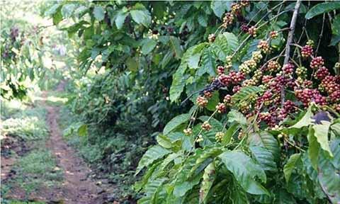 Productores Reportan Pérdidas por 700 Mdd Ante Disminución de la Exportación de Café