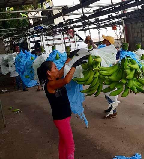 Productores Chiapanecos Exportan Plátano Macho y Banano Hacia Canadá