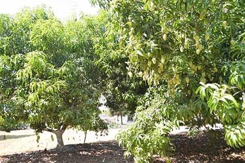 Fruticultores Fijan Mejorar el Rendimiento del Mango Ataulfo