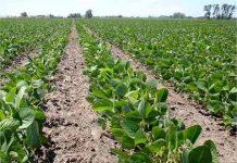 Plagas Afectan el 20% de la Producción de Soya