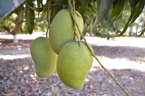 Productores Piden Apoyos al Gobierno Para Industrializar el Mango Ataulfo