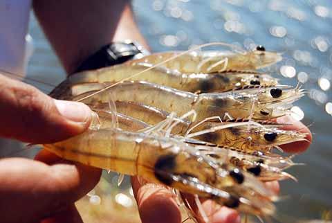 Inicia Veda Temporal Para la Pesca de Camarón